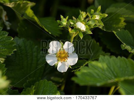 Macro of flowering strawberry (Fragaria ananassa) at spring garden