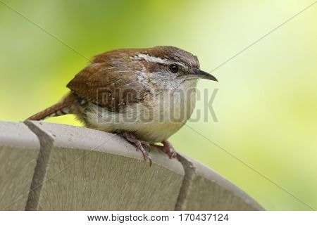 Carolina Wren (Thryothorus ludovicianus) perched on the back of a chair - Grand Bend Ontario
