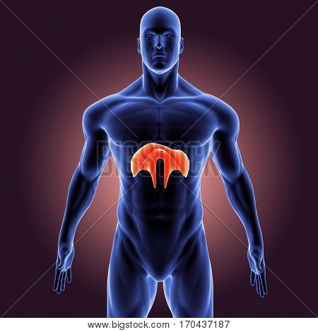 3d illustration human body organs of a human body part