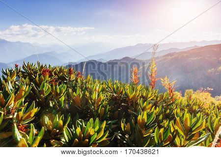 Blooming rhododendron flowers in Caucasus mountains. Upper Svanety, Georgia, Europe