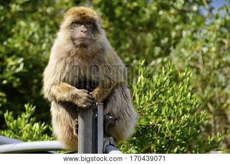 Portrait of a Barbary ape sitting on a post