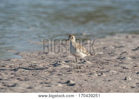 Juvenile Black-bellied Plover with late afternoon shadow on sand