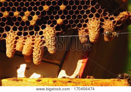 Waxen cottage for growing of chapter of bee family. Queen bees.