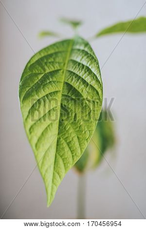 Leaf of jung avocado plant. Simple background.