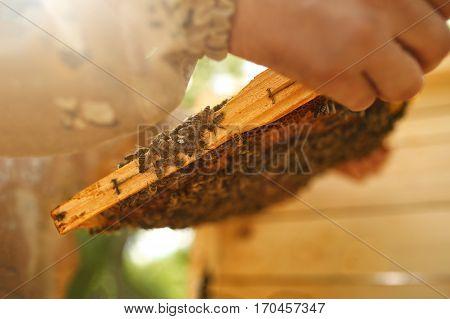Beekeeper holding honeycomb with bees. Apiculture. Honeybee
