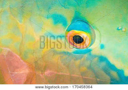Close up of a Parrotfish Eye