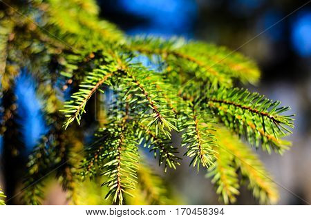 Close-up Of The Fir Tree Branch With A Needles
