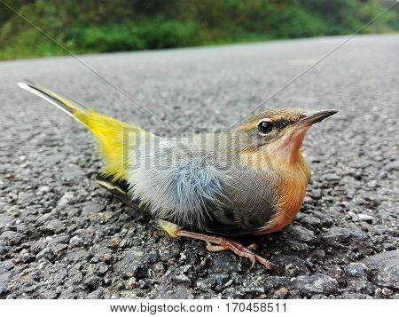 motacilla cinerea, grey wagtail bird on the road