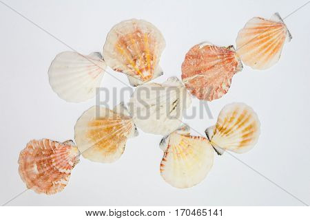 Sea mollusks sea cockleshells on a white background. Allsorts mollusk