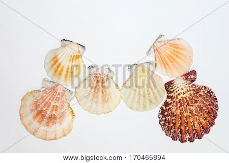 Sea Mollusks, Sea Cockleshells