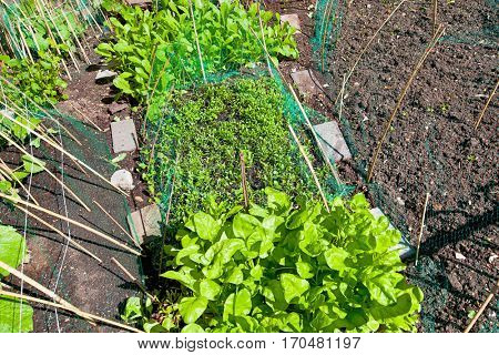Garden bed with vegetables growing