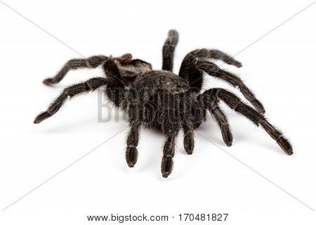 Isolated photo of black spider on white background
