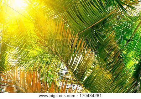 View upward bright green tropical palm trees with golden sun light behind, flares. Warm toned.
