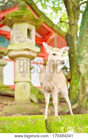 Cute Japanese deer and stone lantern at Kasuga Taisha shrine in Nara Japan