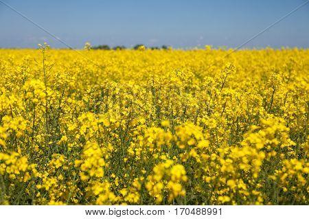 Rapeseed field. Rapes on the field in summer.