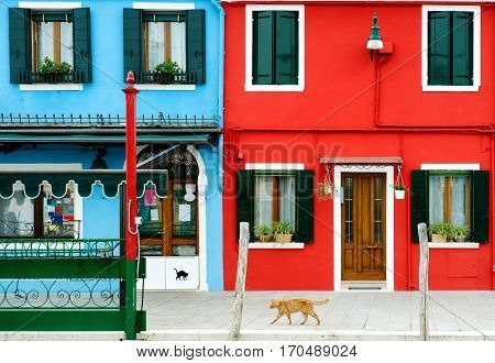 A red cat walking near colorful buildings in Burano Venice Italy