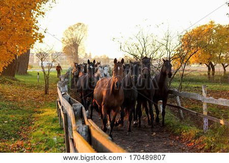 Herd Of Horses Running Down The Path To The Farm