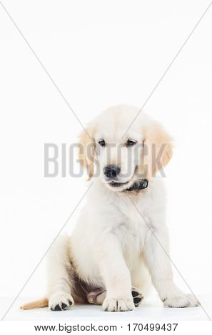 cute golden labrador retriever puppy dog sitting and looks to side in studio