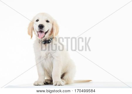 happy panting golden labrador retriever puppy dog sitting in studio
