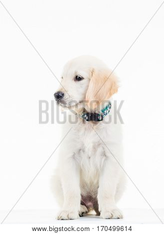 adorable labrador retriever puppy dog looks to side while sitting in studio