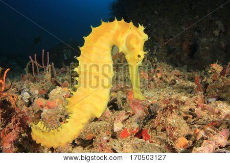 Yellow Thorny Seahorse