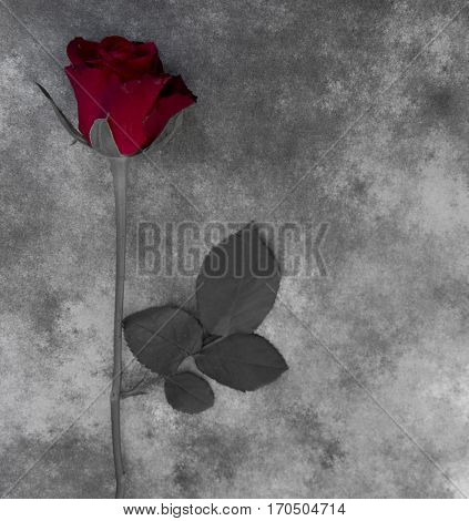Red rose on gray marble - condolence card with deepest sympathy