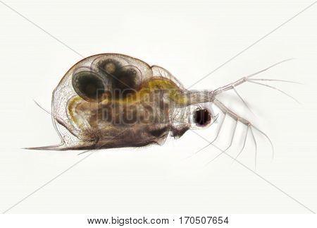 Planktonic crustaceans Daphnia probably Daphniidae Scapholebris Mucronata. Freshwater zooplancton by microscope