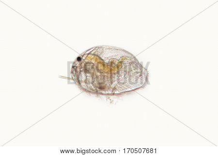 Daphnia Pleuroxus uncinatus, freshwater planktonic crustacean by microscope