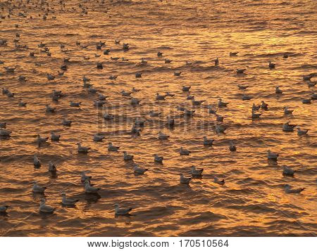 Uncountable Seagulls Swimming on Golden Sea while the Sun Rising, Gulf of Thailand