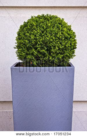 trimmed bush plant in a tall square pot