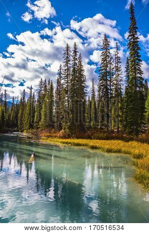 Picturesque lake with emerald water surrounded by a pine forest.  Mountain Emerald Lake, Canada, Yoho National Park