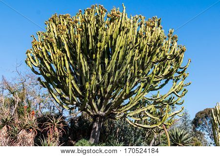 Candelabra cactus, a species of cactus endemic to the Galapagos Islands.