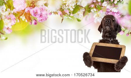 Beautiful mutt black dog Amy holding small black table, close-up.