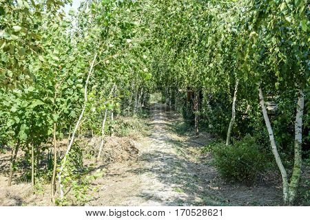 Birch Alley. Sidewalk Path Posters Birch Trees