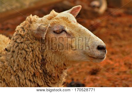 Wooly sheep close up profile in spring
