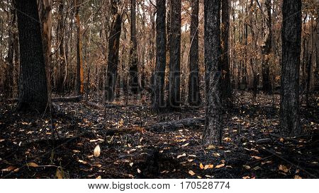 Burnt bush land forest scene with tree trunks