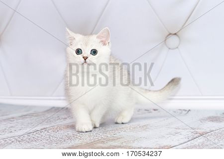 Kitten of the British breed goes on the floor. Rare coloring - a blue silvery chinchilla. Green eyes