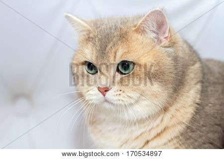 Face Kitten of the British breed. Rare coloring - a golden chinchilla. Green eyes. He is sitting in a half-turn