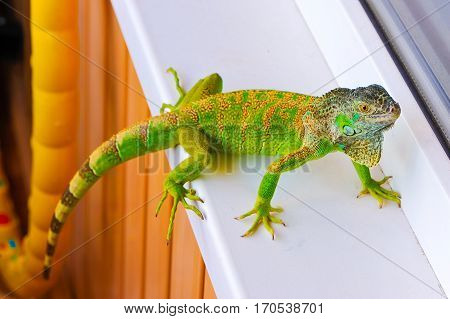 one green iguana lizard .reptile sit on window