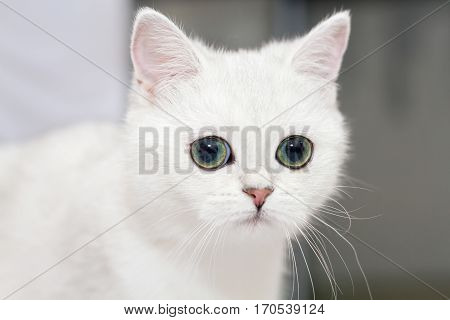 Kitten of the British breed looks into the distance. Rare coloring - a blue silvery chinchilla. Green eyes