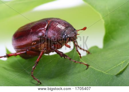 June Bug On Green Leaf