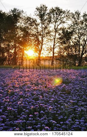 Purple Flowers Field On The Sunset. Phacelia Plantation. Honey Plants. Beautiful Countryside Natural