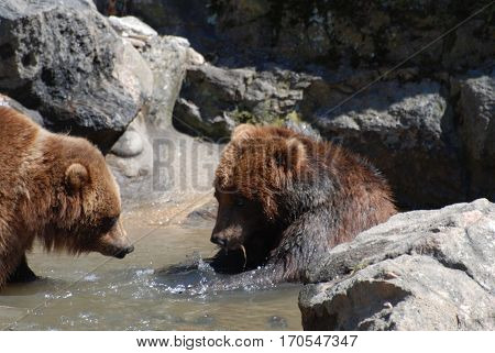 Two grizzly bears playing in a shallow river amongst rocks.
