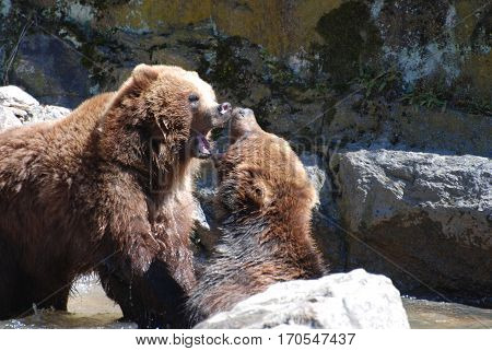 Pair of grizzly bears with both of their mouths wide open.