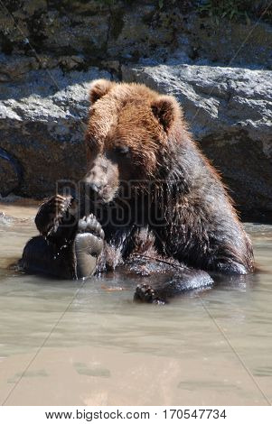 Adorable grizzly bear playing by himself in a shallow river.