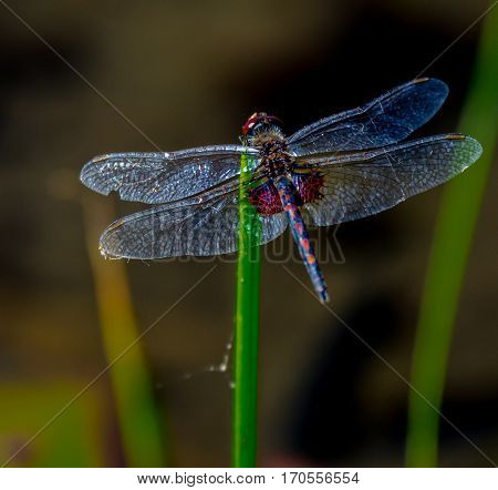 Close up of a silver winged dragonfly