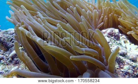 Clown fish in anemone close, Red sea. Egypt.