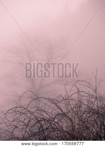 Soft, rosy fog with tree and brambles