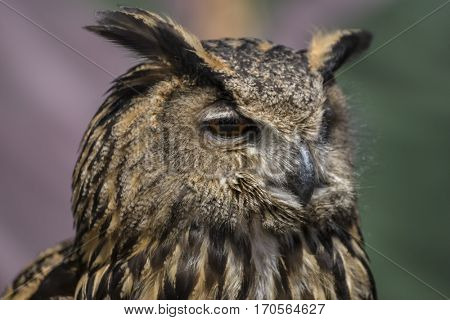 Raptor, Beautiful owl with plumage of earthy colors, has an intense and beautiful look