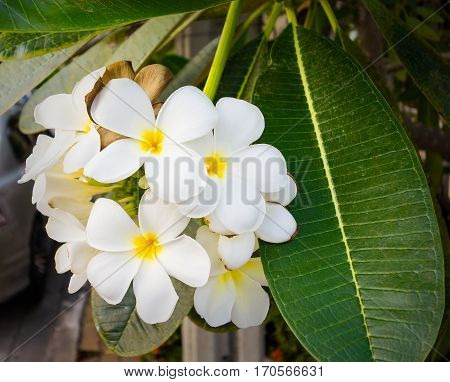 A bouquet of yellow and white frangipani blossom.